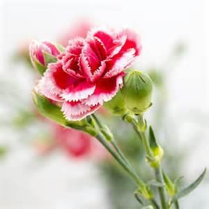 langage des fleurs: l'oeillet
