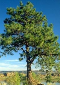 signification arbres voyance celte