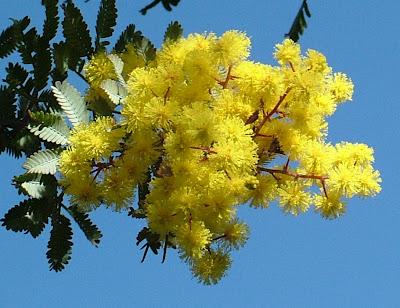 Bonsoir le forum  Mimosa