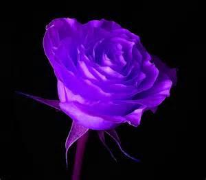 Signification de la rose traduction du langage floral - Signification nombre de roses ...